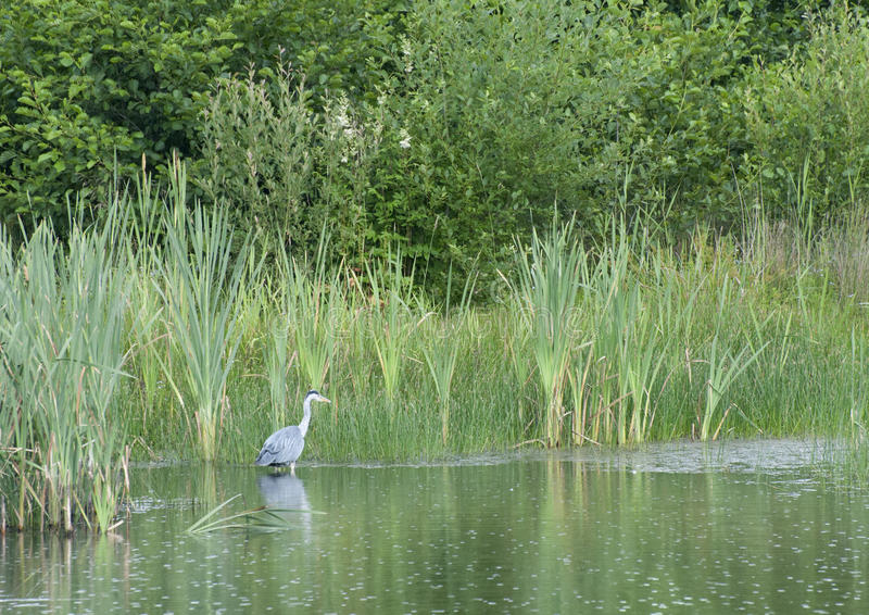 Heron Fishing. A Grey Heron fishing on a pond in the northeast of England. Wading through the shallows as it uses its acute eyesight to spot movement under the royalty free stock image