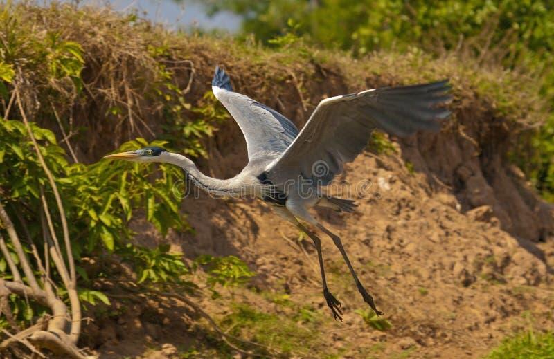 Heron flight 2 stock photo