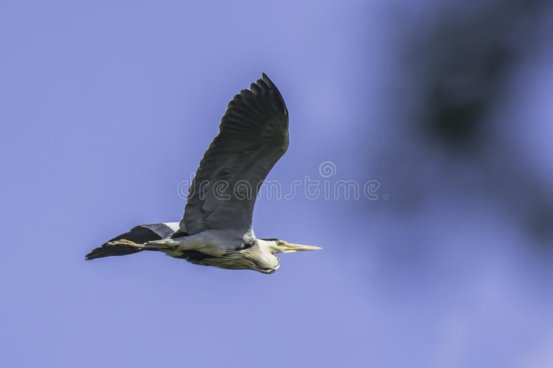 Heron in flight, blue sky in background stock image