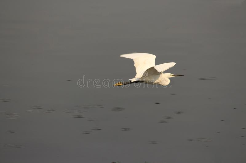 Egret is on a flight. Calm waters in the eveing. Bird perhaps getting back to the place to stay. Heron is on a flight. Calm waters in the eveing. Bird perhaps royalty free stock images