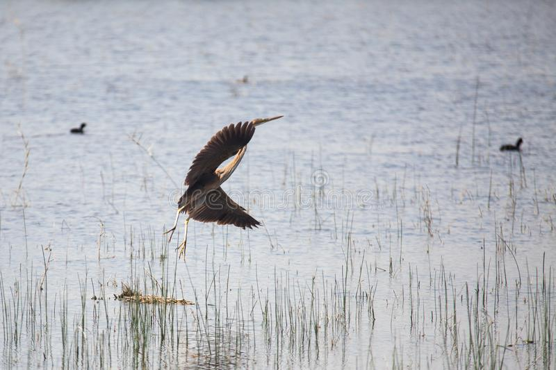 Heron in flight royalty free stock photos
