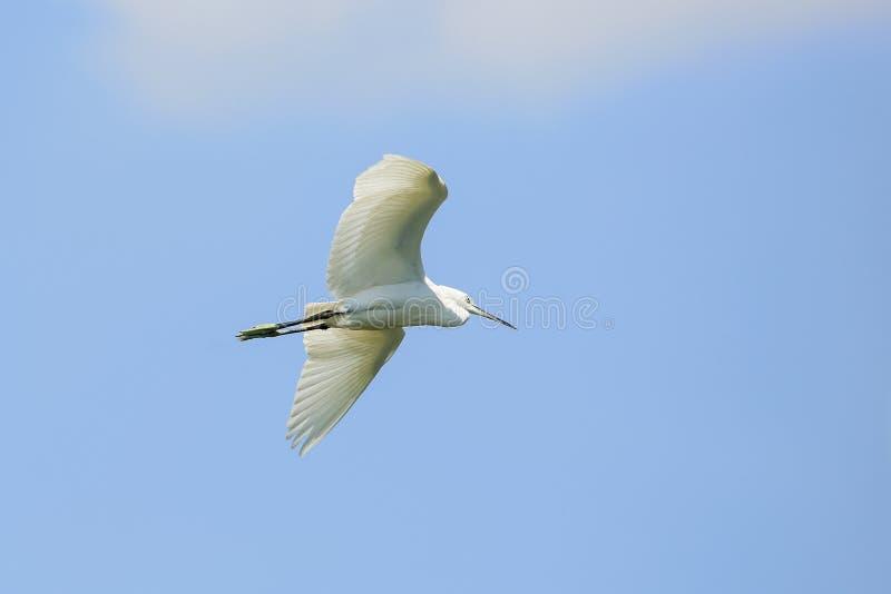 heron isolated on blue background royalty free stock image