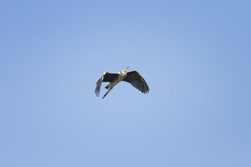 Heron flying on blue sky background widely spread its large wings stock photos