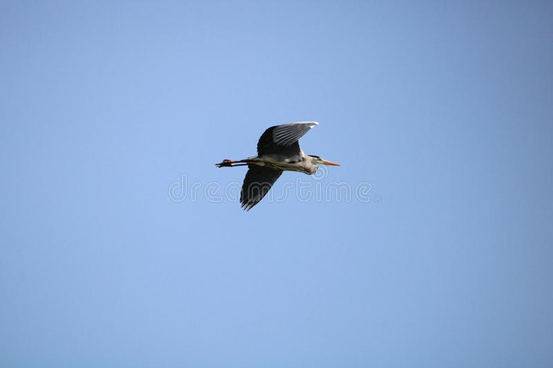 A heron flying in a blue sky stock photos