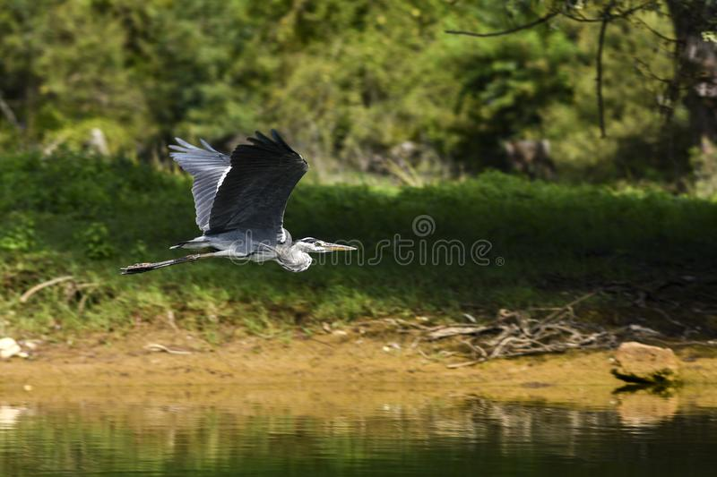 Heron flying over the river and meadows. royalty free stock image