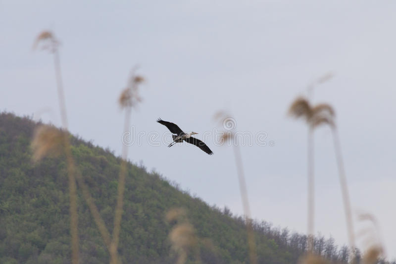 Heron. A flying heron with some out of focus reeds in the foreground stock image