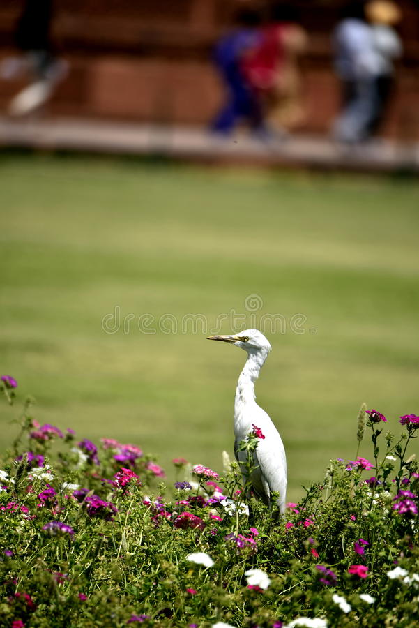 Heron in the garden. Herons in the gardens at Taj Mahal India. Looking for food, background, green grass, park, colorful flowers, hiking, sightseeing, monuments stock image