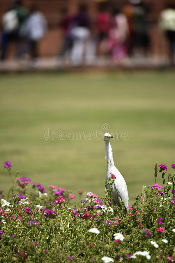 Heron in the garden. Herons in the gardens at Taj Mahal India. Looking for food, background, green grass, park, colorful flowers, hiking, sightseeing, monuments stock photo