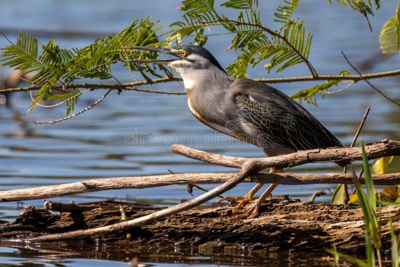 Heron ( gestreepte heron) jacht op het Sandoval-meer Tambopata, Peru royalty-vrije stock foto's