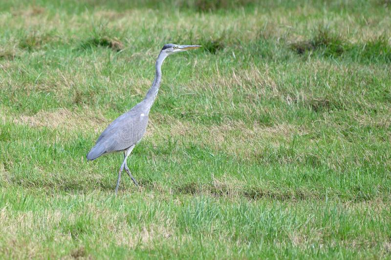 Heron in the green countryside stock images