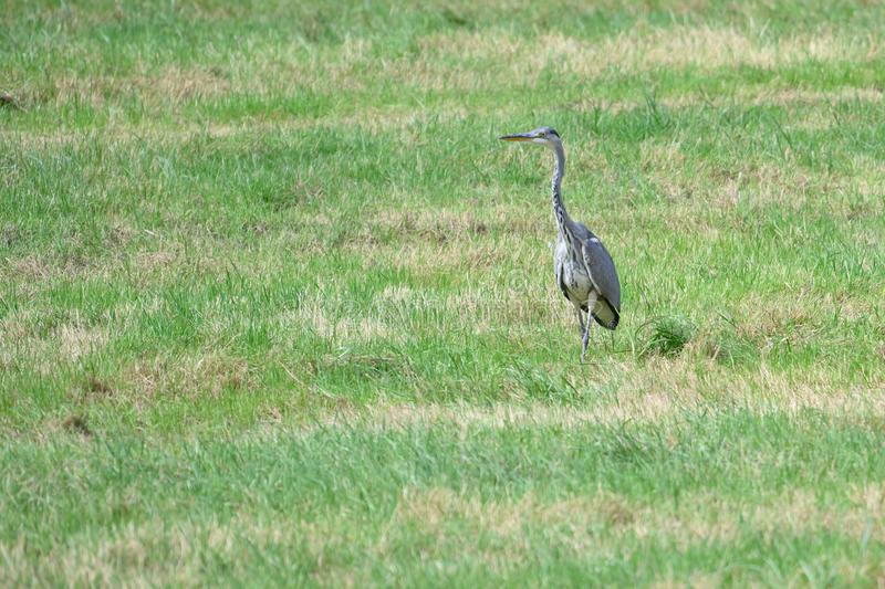 Heron in the green countryside royalty free stock images