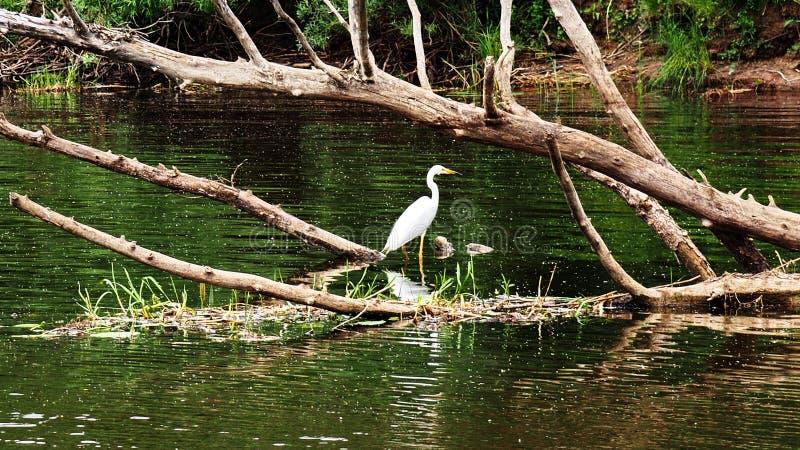 Heron hunts on the river stock photo