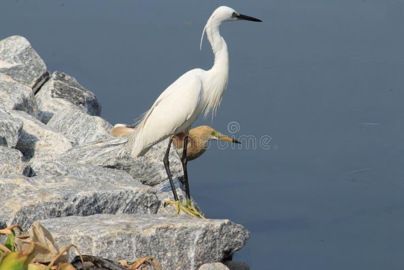 Heron i Egret zdjęcia stock