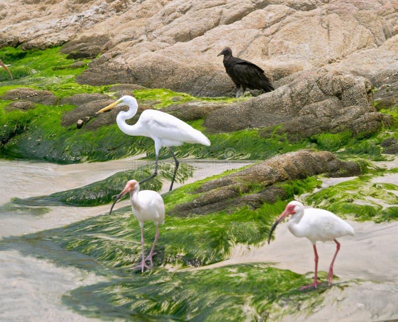 - heron ibisa white obraz royalty free