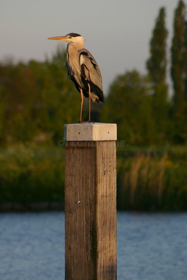 heron jpg στοκ εικόνες με δικαίωμα ελεύθερης χρήσης