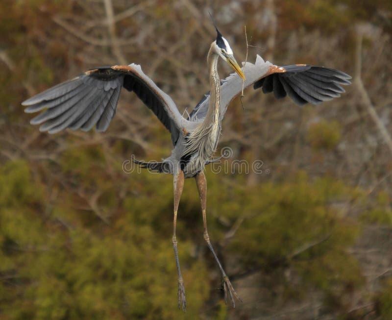 Heron Landing royalty free stock photos