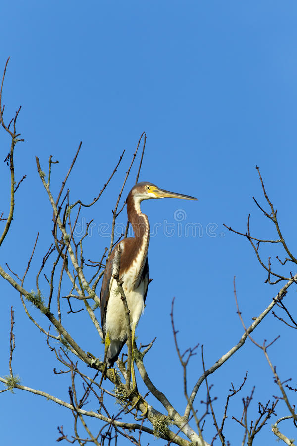 Heron in leafless tree. A tri colored heron is perched on a tree branch in Lake Woodruff park in Deland, Florida stock photography
