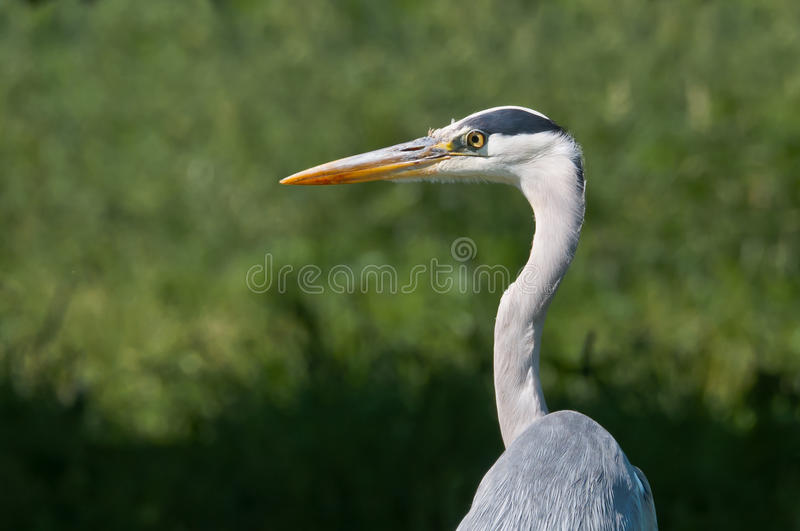 A Heron looking for prey royalty free stock photo