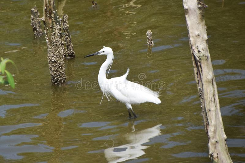 Heron at mangrove forest royalty free stock images