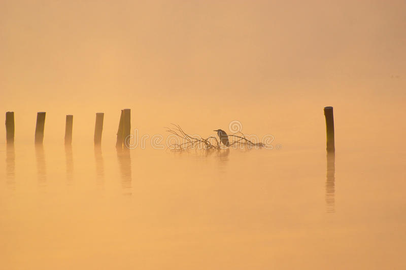 Heron In Misty Autumn Morning. Lonely heron sitting on branch on lake in misty autumn morning stock photography
