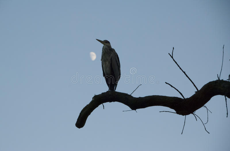 Download Heron and the Moon stock photo. Image of wild, moon, tree - 26620202