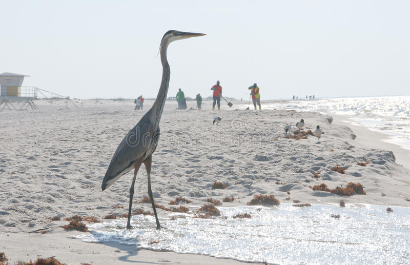 Download Heron On Oil Threatened Beach Editorial Image - Image: 14663695