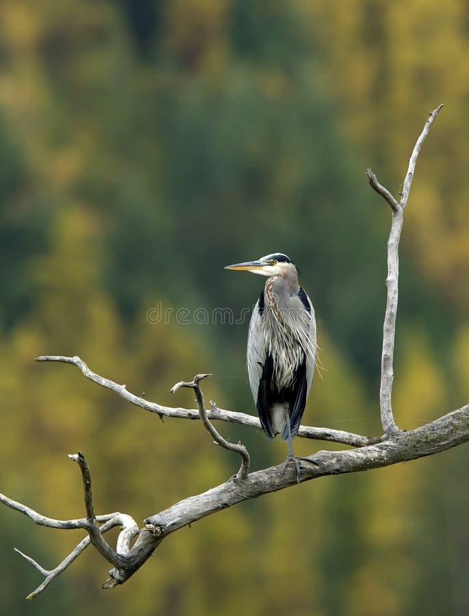 Free Heron On Branch. Stock Photo - 46149770