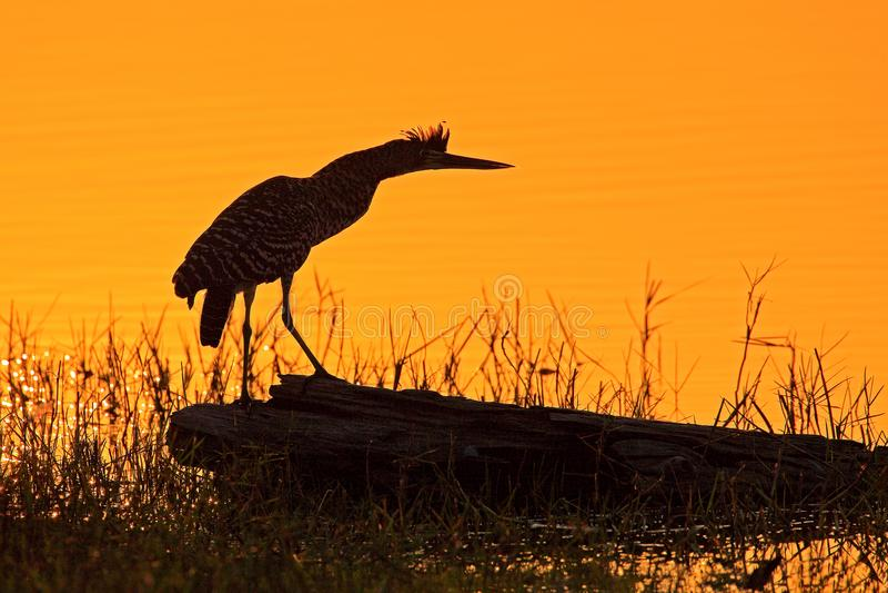 Heron and orange yellow sunset, bird silhouette. Evening sun, Rufescent Tiger-Heron, Tigrisoma lineatum, motteled bird with evenin stock image