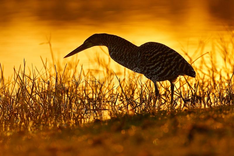 Heron and orange yellow sunset. Evening sun, Rufescent Tiger-Heron, Tigrisoma lineatum, motteled bird with evening back light, in stock image