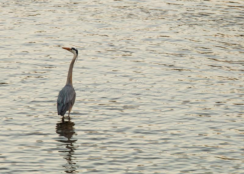 Heron patiently hunting for fish in the river stock image