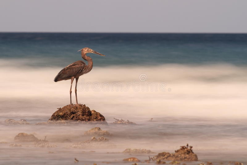 Heron on rock looks out to blurry sea, Sulawesi. A heron looks out from it's rock in this landscape of a blurry sea. The tropical beach is in Sulawesi stock photography
