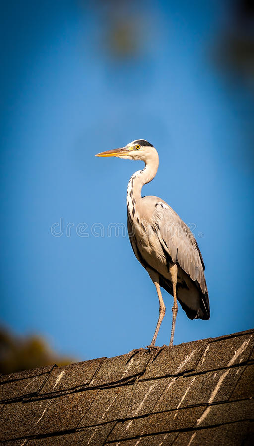 Heron On The Roof Royalty Free Stock Photos