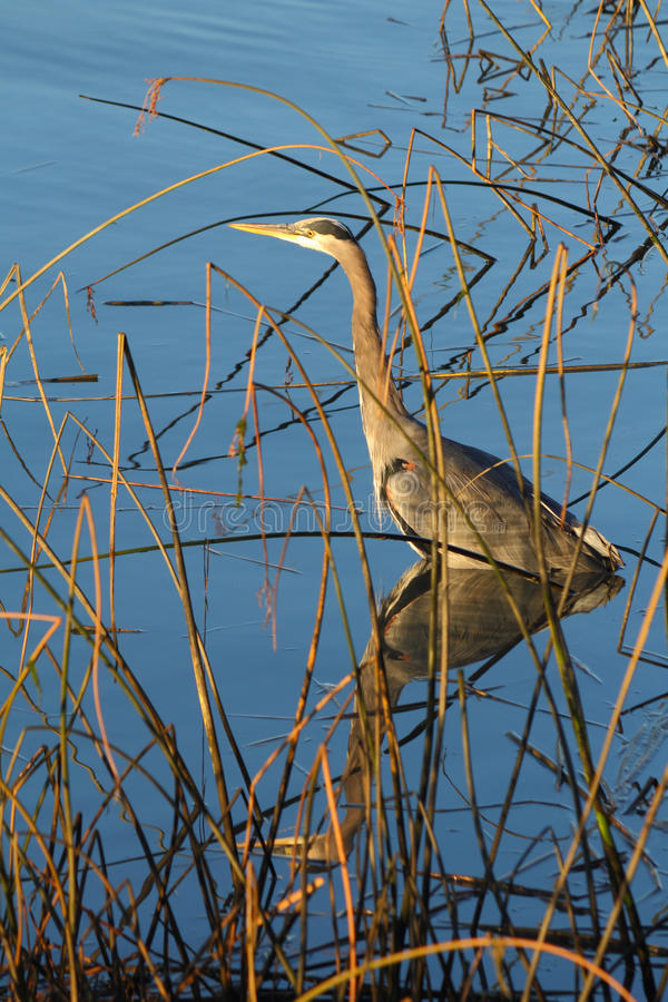 Download Heron In Shallows At Shoreline Stock Photo - Image: 27249784