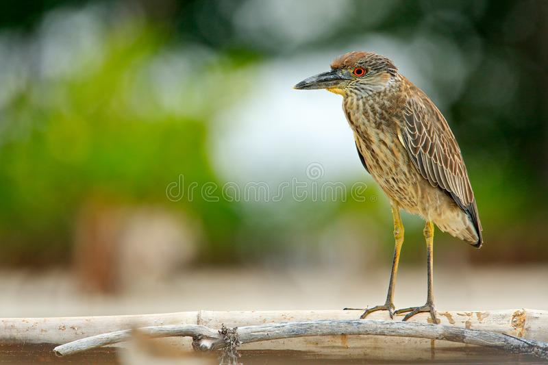 Heron sitting on the river cost. Heron sitting on the stone. Night heron, Nycticorax nycticorax, grey water bird sitting in the st. Ump stock photo