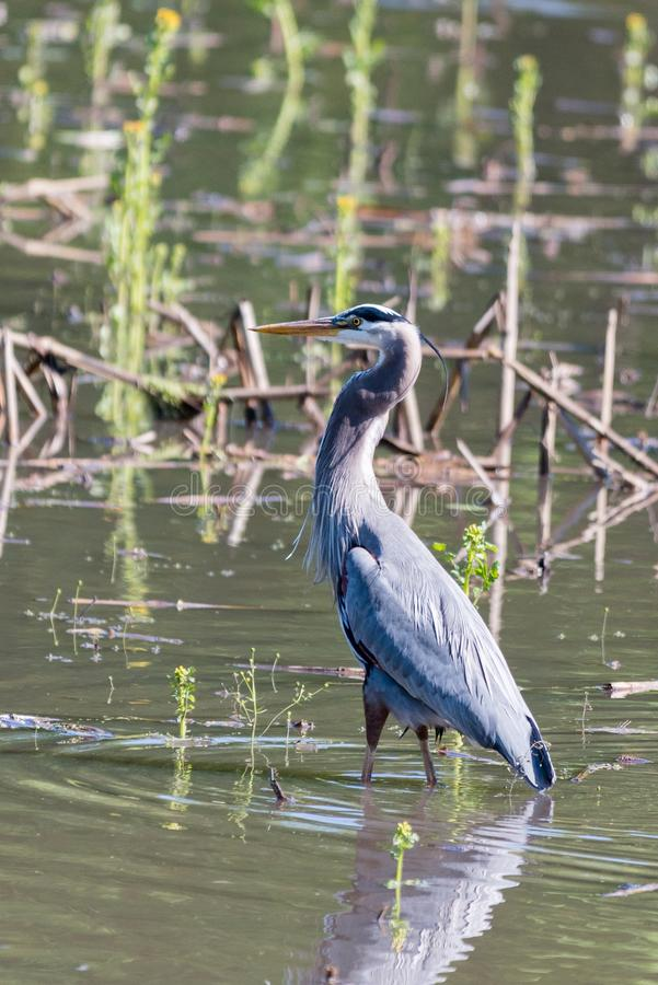 Heron in Spring Plumage. A great-blue heron in springtime plumage stock photo