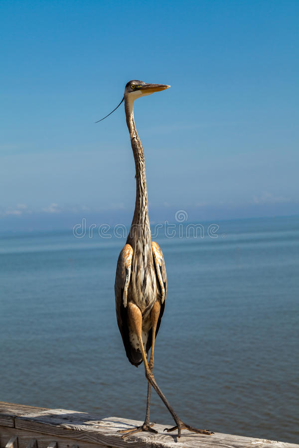 Heron standing cross legged. Common Heron standing on a pier cross legged with calm ocean in the background royalty free stock image
