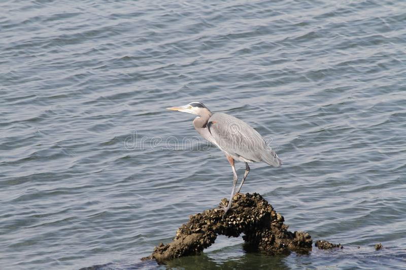 A heron standing on a log stock photo