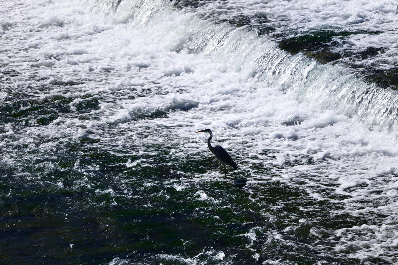 A heron standing in the river of Kamo, Kyoto Japan stock images