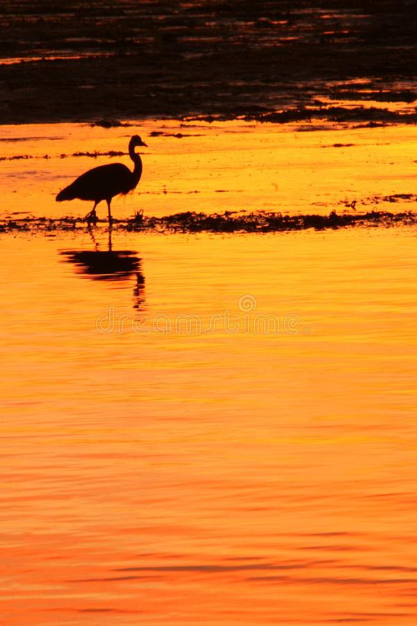 Download Heron at Sunset stock photo. Image of dunes, ocean, water - 8243986