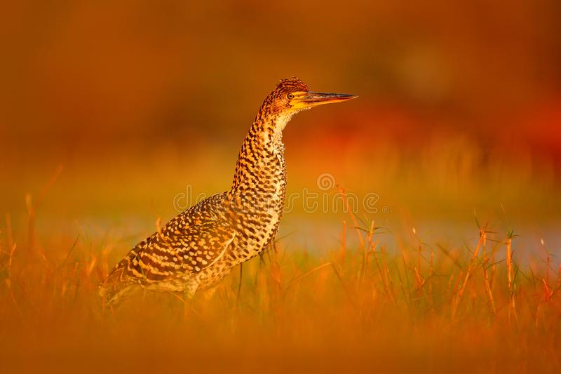Heron sunset, in water. Evening sun, Rufescent Tiger-Heron, Tigrisoma lineatum, motteled bird with evening back light, in the natu royalty free stock image