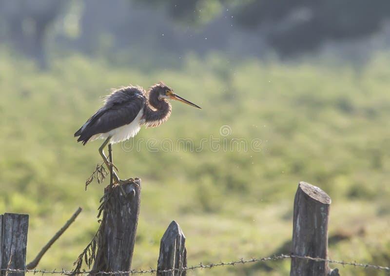 - heron tricolored fotografia royalty free