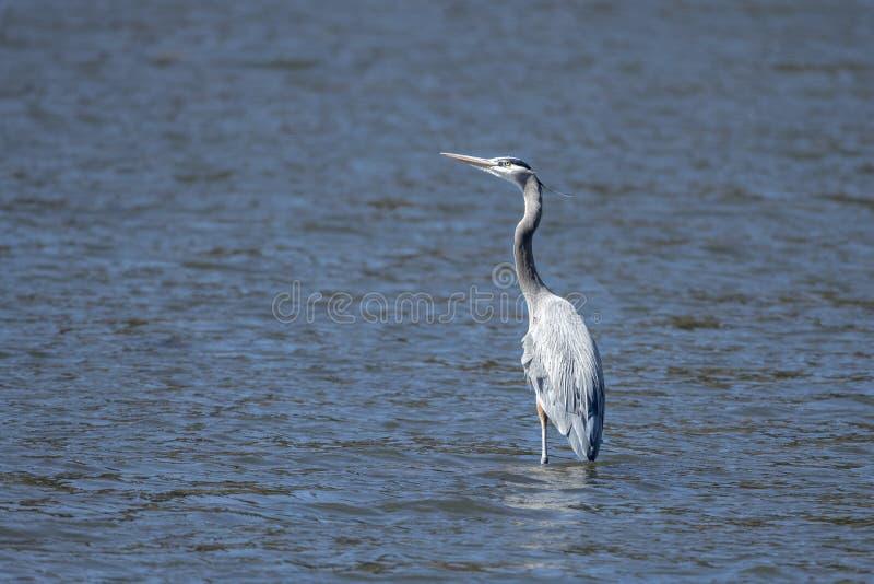 Heron wades in het meer royalty-vrije stock fotografie