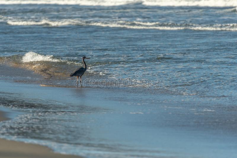 Heron Wades in Shallow Waters of Pacific Ocean. On Sunny Morning royalty free stock images