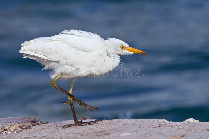 Heron walking by water stock photography