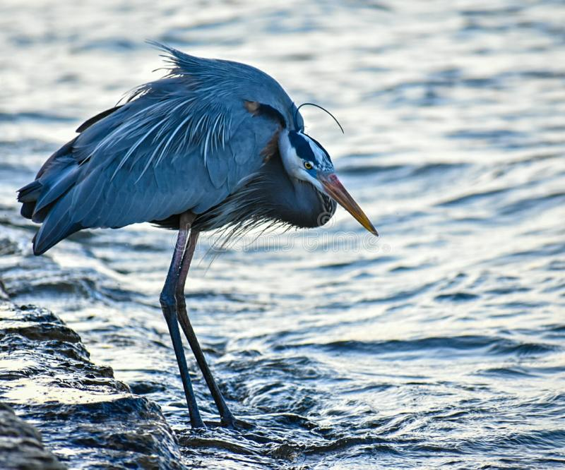 Heron on the Water stock photo