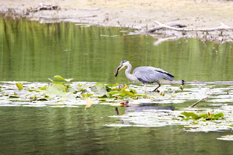 Heron in the water with a fish stock photos