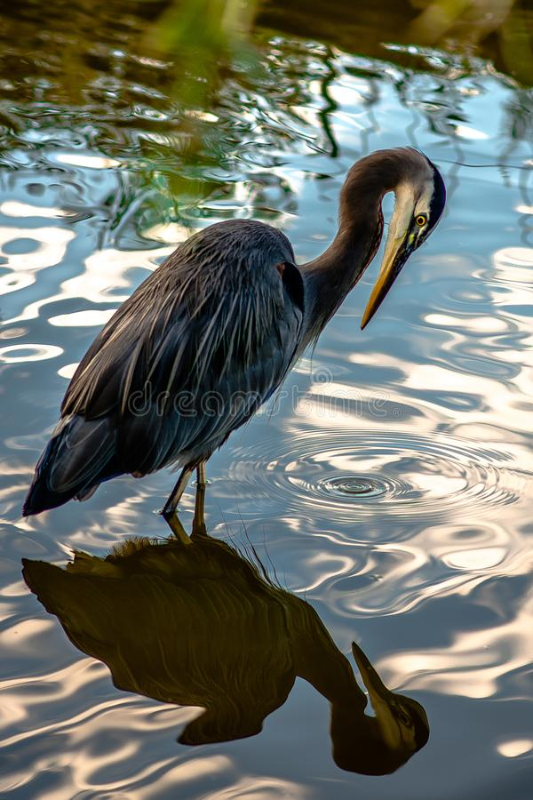 Heron and water mirror stock images