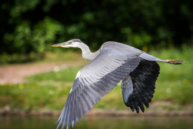 herons imagen de archivo libre de regalías