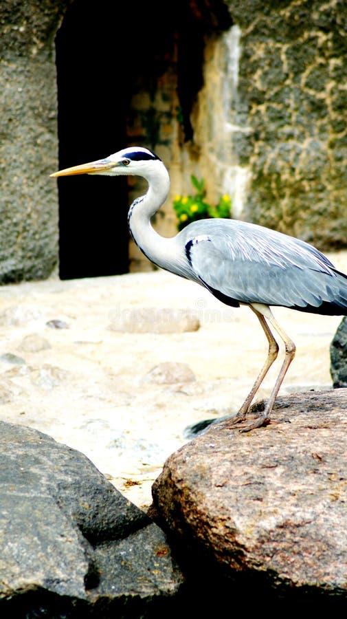 herons foto de archivo libre de regalías