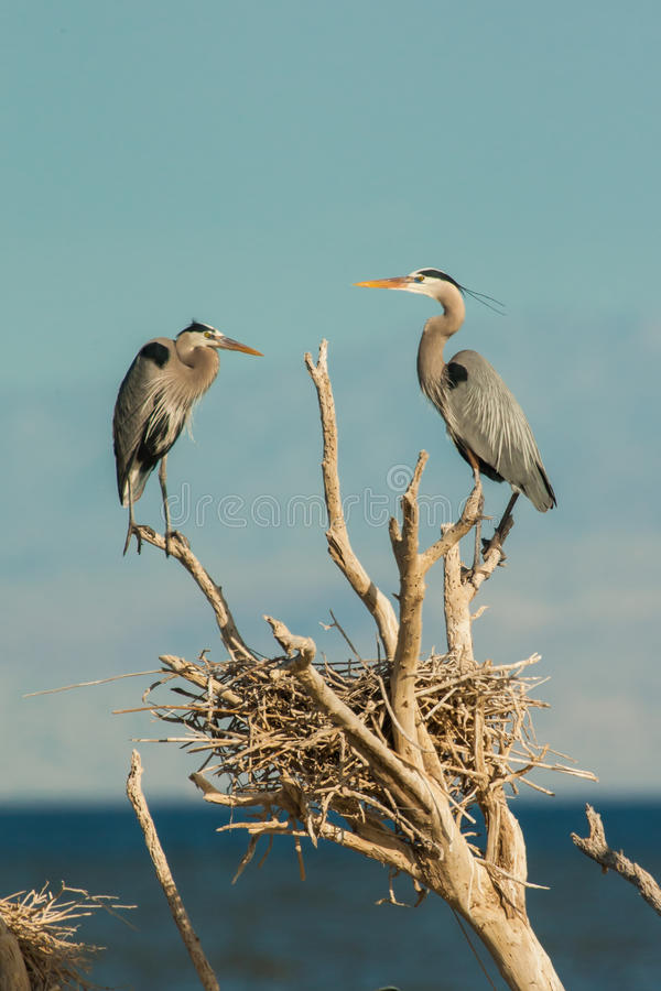Download Herons At Nest stock image. Image of nest, great, legs - 29681943